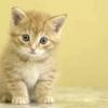 Як вивести бліх у кошеняти