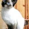 Найменші породи кішок