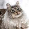 Сибірські кішки