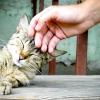 Тічка у кішок