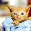 Вірусний перитоніт у кішок: симптоми, діагностика та лікування