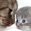 Виразка Якобса у кішок - симптоми і лікування