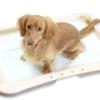 Як привчити собаку до лотка