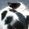 Як вивести бліх у кішки