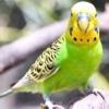 Застуда у хвилястого папугу