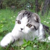 Скоттиш-фолд (шотландська висловуха кішка)