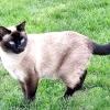 Тайські кішки