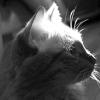Вушний кліщ у кішок: симптоми та лікування