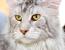 Яка порода кішок найрозумніша?